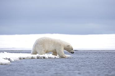 Polar bear on the shore, Barter Island Alaska