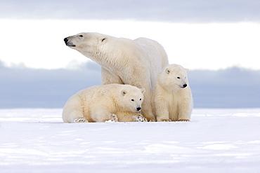 Polar bear and young in the snow, Barter Island Alaska