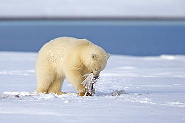 Young polar bear in the snow, Barter Island Alaska
