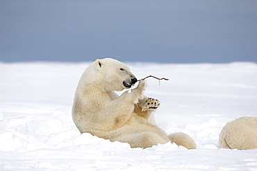 Polar bear playing with a branch, Barter Island Alaska