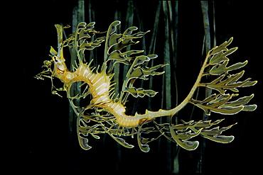 Leafy sea dragon, Australia