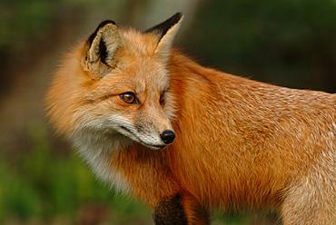 Portrait of Red Fox, Homossassa river Florida USA