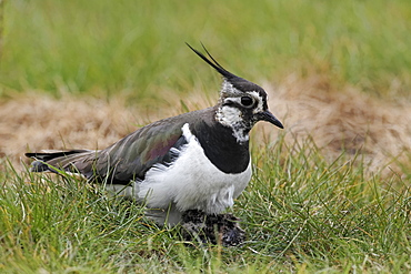 Northern lapwing with young on nest,  Midlands England UK