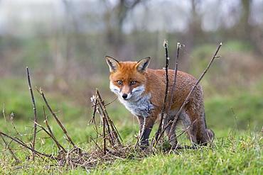 Red Fox walking in a meadow in autumn, GB