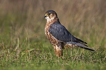 Male Merlin standing in a meadow in winter, GB