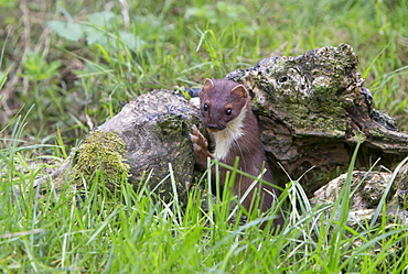 Stoat coming out of a hole in summer, GB
