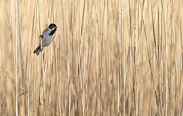 Male Reed Bunting perched in a reed bed in winter, GB