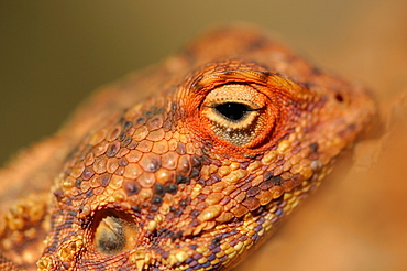 Portrait of Southern rock agama, Namibia