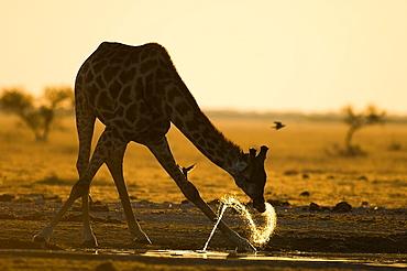 Giraffe drinking at sunset, Makgadikgadi Botswana