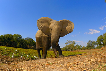 African elephant out of the water, Mana Pools Zimbabwe
