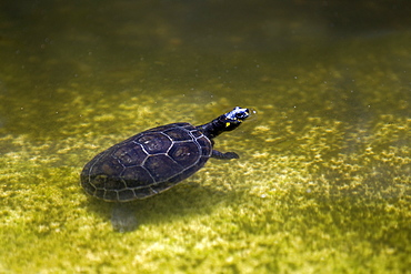 Yellow-spotted River Turtle on water, Amazonas Brazil