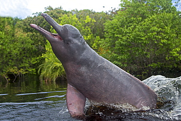 Pink River Dolphin at the surface, Rio Negro Brazil