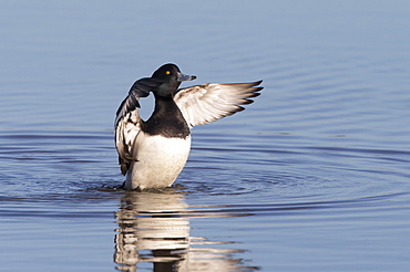Male Tufted Duck flapping wings on the water in winter, GB