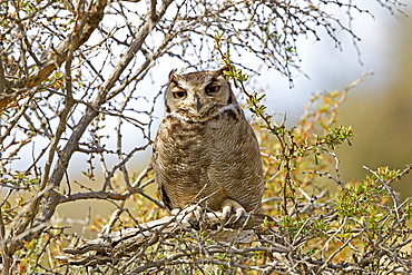 Lesser Horned Owl on a branch, Torres del Paine Chile