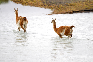 Guanacos crossing a river, Torres del Paine Chile