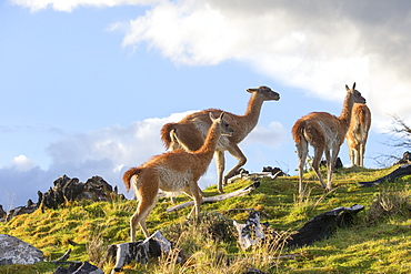 Guanacos in the steppe, Torres del Paine Chile