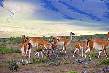 Guanacos and young in the steppe, Torres del Paine Chile