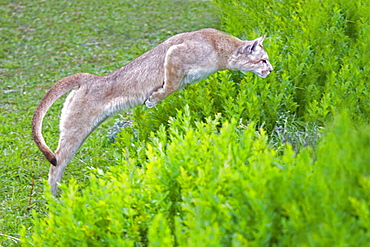 Puma jumping in the scrub, Torres del Paine Chile
