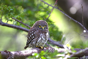 Southern Pygmy Owl on branch, Torres del Paine Chile