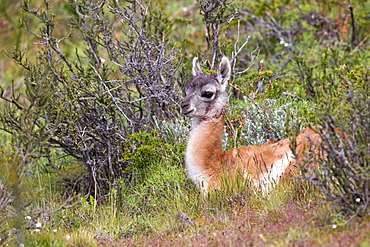 Young Guanaco lying in the steppe, Torres del Paine Chile
