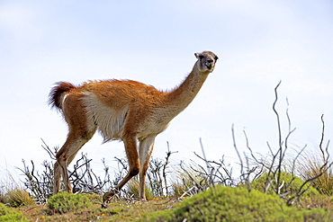 Guanaco walking in the steppe, Torres del Paine Chile