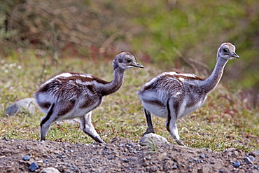 Greater Rhea chicks in the steppe, Torres del Paine Chile