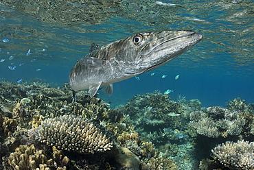 Greater Barracuda above the reef, Fiji
