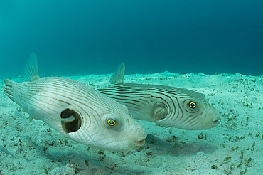 Striped puffer pair, Fiji