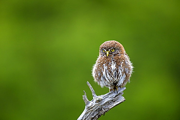Austral Pygmy Owl on a branch, Torres del Paine Chile