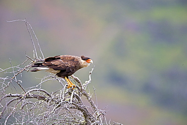 Crested Caracaras on a branch, Torres del Paine Chile