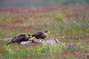 Crested Caracaras on carcass, Torres del Paine Chile