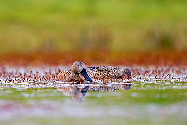 Red Shoveler on water, Torres del Paine Chile