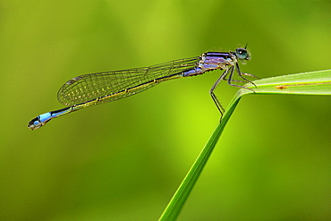 Blue-tailed damselfly female on leaf Sedge, Picardie France