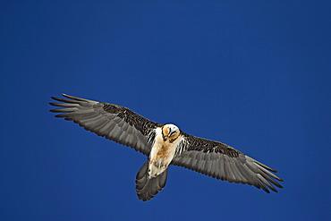 Lammergeier in flight, Swiss Alps