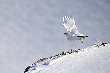 Male ptarmigan flying away in the snow, Swiss Alps