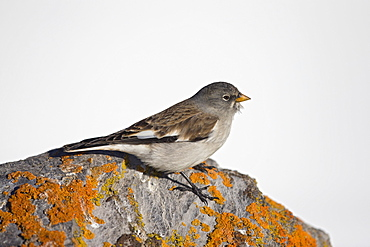 White-winged Snowfinch on a rock, Swiss Alps