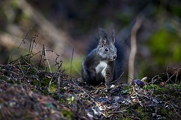 Red squirrel on the ground, Vaud Alps Switzerland