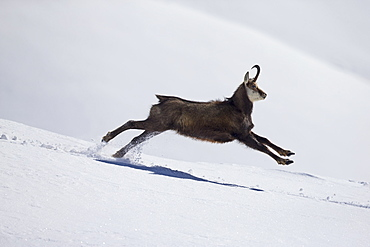 Alpine Chamois running in the snow, Alps Vaud Switzerland