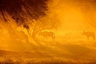 Gemsboks at dawn, Kalahari Kgalagadi South Africa
