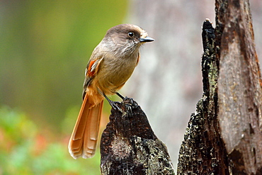 Siberian Jay on a stump in fall, Finland