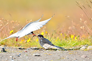 Arctic Tern feeding its young, Isafjordur Iceland