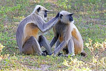 Hanuman Langurs grooming, Rajasthan India