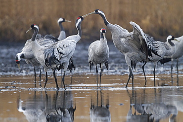 Common Cranes in a forest pond, Lorraine France