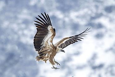 Griffon Vulture in flight in winter, Balkans Bulgaria