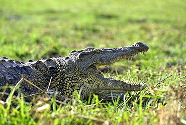 Portrait of Nile Crocodile on the bank, Chobe Botswana]