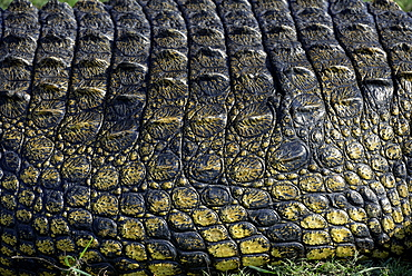 Nile Crocodile skin, Chobe Botswana