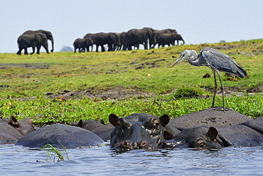 Heron on Hippos and Elephants, Chobe Botswana