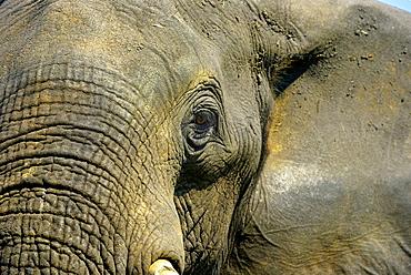 Portrait of African Elephant, Chobe Botswana