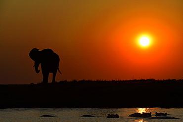 Elephant and Hippos at dusk, Chobe Botswana