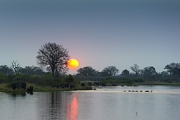 Elephants crossing the river at dusk, Chobe Botswana